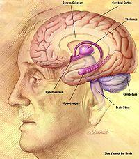 Brain of gentleman side view